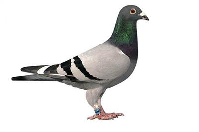 Спортивный голубь