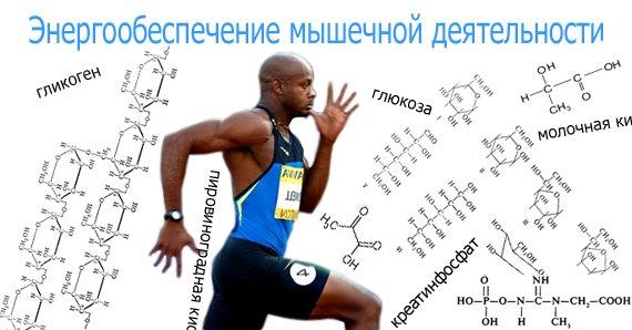 Энергообеспечение мышечной работы